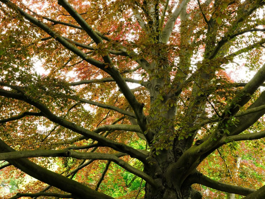 Copper beech tree - one thread in our stories