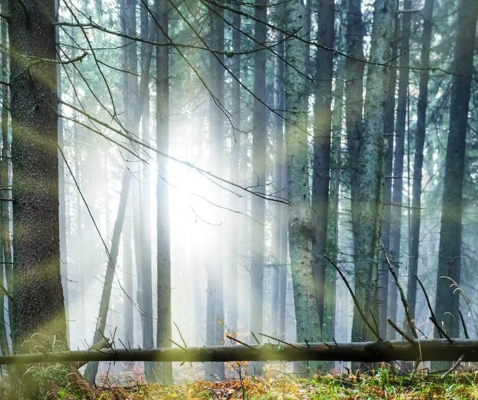 Sun through trees to represent Brigid and Imbolc