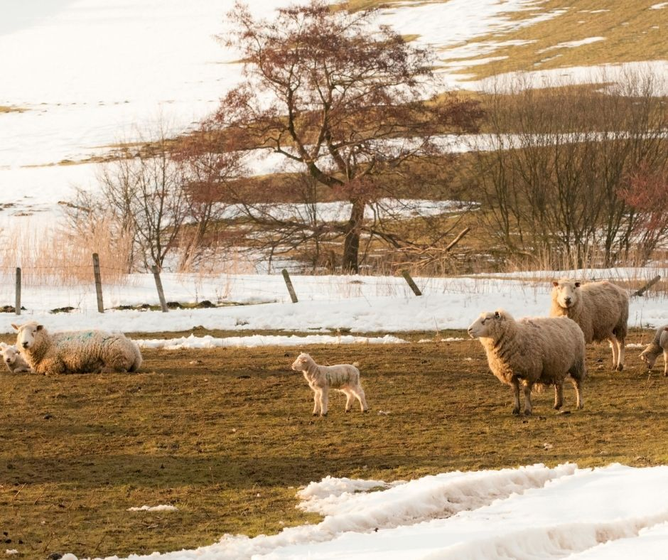 Lambing season - begins on 1 Feb, Imbolc